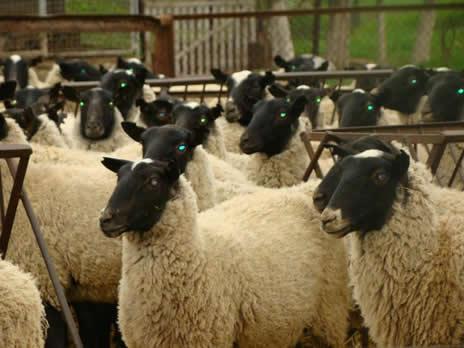 Овцеводство - бизнес план